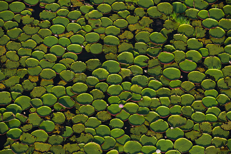 Aerial view of Giant water lily (Victoria amazonica) leaves in river, i Rurununi savanna, Guyana, South America