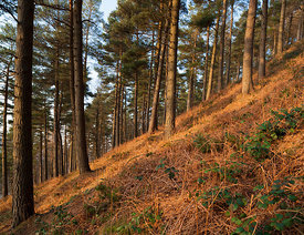 Conifers near Derwent reservoir