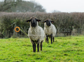 A pair of sheep