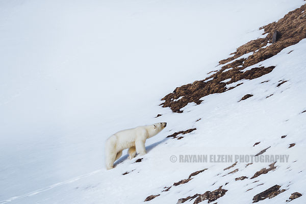 Polar bear starting to climb a steep hill