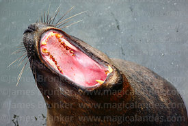 Female South American Sea Lion (Otaria flavescens) yawning