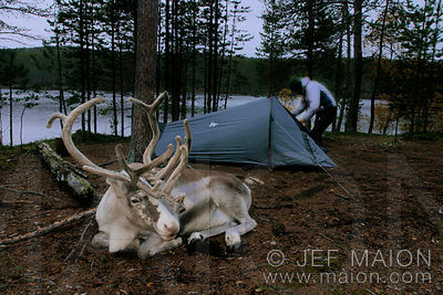Reindeer resting nearby hikers´ tent