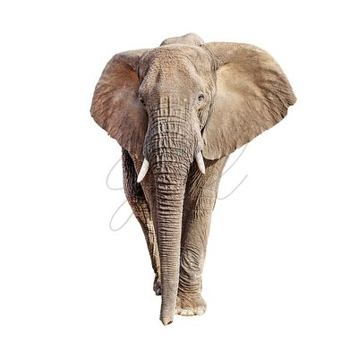 African Elephant Front View Isolated