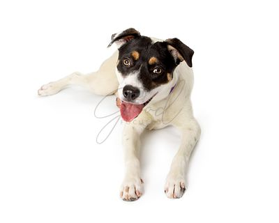 Terrier Crossbreed Dog Lying Down Happy Expression