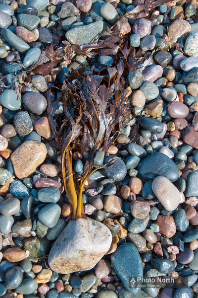 WRACK SEAWEED 30A - Toothed wrack