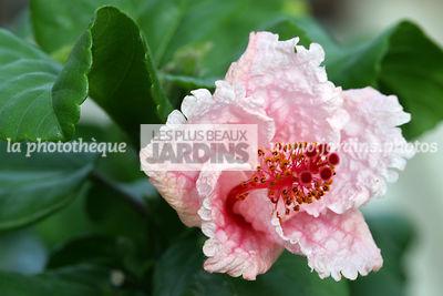 finest hibiscus x ketmie rose de chine china rose with hibiscus de jardin persistant. Black Bedroom Furniture Sets. Home Design Ideas