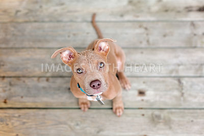 Young bully breed sitting on deck