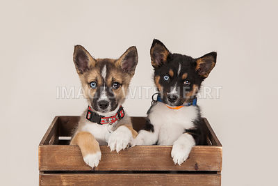 Puppies, two, close up in crate