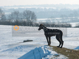 A lurcher dog looks out onto a wintery landscape
