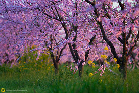 Peach Orchards in Bloom #11