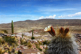 Echinopsis tarijensis (?) cactus in flower above Comanche village, Bolivia