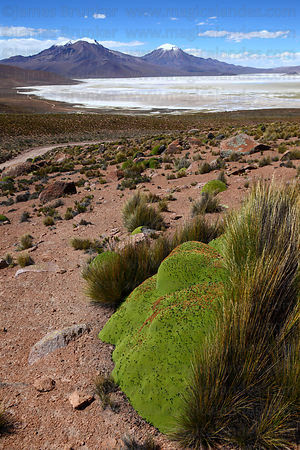 View over Salar de Surire and yareta plant ( Azorella compacta ) in foreground , Region XV , Chile