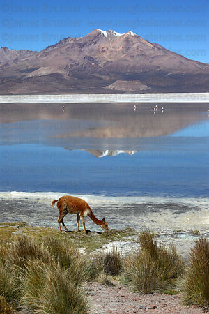 Vicuña (Vicugna vicugna) and paja brava grass (Festuca orthophylla) on shore of Salar de Surire, Region XV, Chile