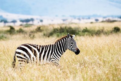 Zebra Walking in Tall Africa Grasslands