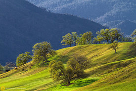 Cows Grazing on a Hillside #2