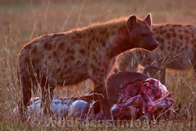 Spotted Hyena, Crocuta crocuta, with a kill at sunrise, Masai Mara National Reserve, Kenya; Landscape