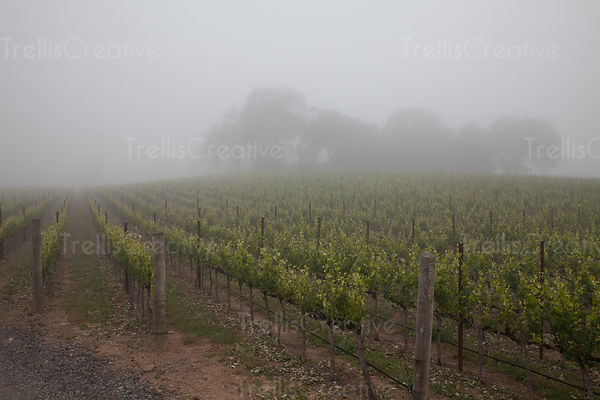 Vineyard in foggy weather