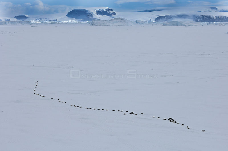 Emperor Penguins (Aptenodytes forsterii) walking across sea ice of Weddell Sea, Snow Hill Island, Antarctica, November