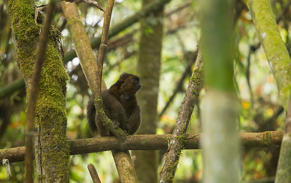 Greater Bamboo Lemur, one of only two left remaining in the park