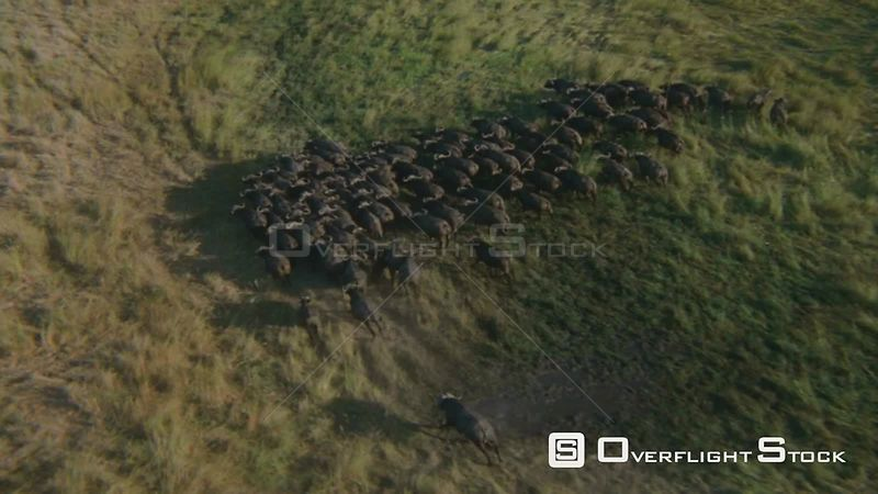 Aerial overhead shot large group of buffalo running together on flooded grassy plain, run behind a group of palm trees, the buffalo stop and turn round Zimbabwe