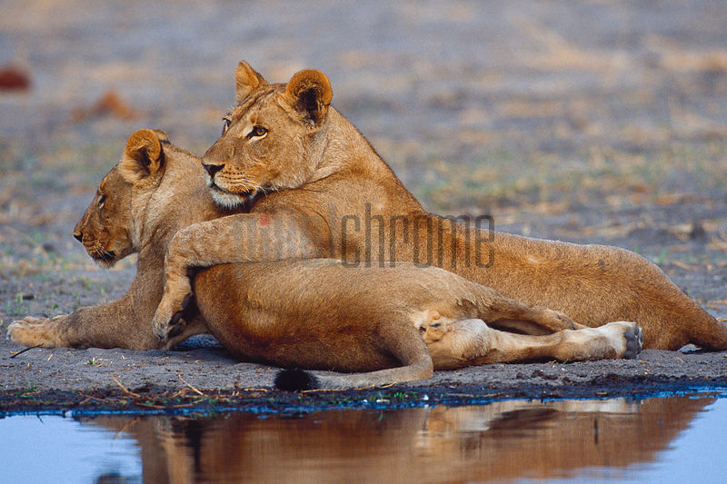 Young Lions Showing Affection for One Another