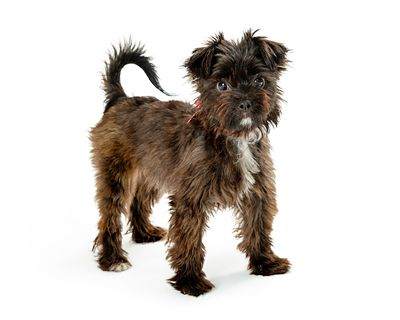 Small Mixed Terrier Breed Dog Standing Side