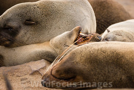 Cape Fur seals, Cape Cross Seal Colony, Skeleton Coast, Namibia; Landscape