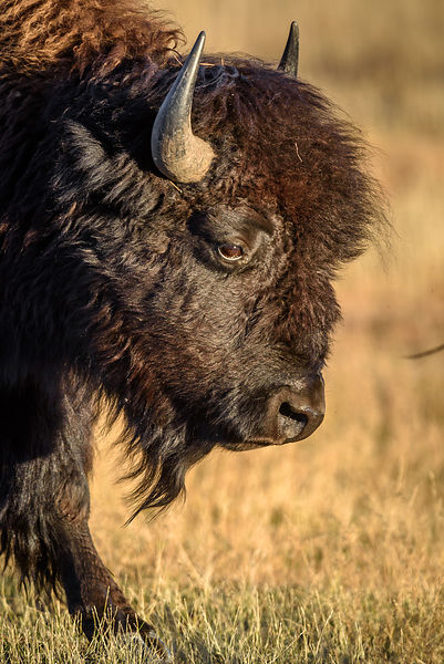 Bull Bison Portrait