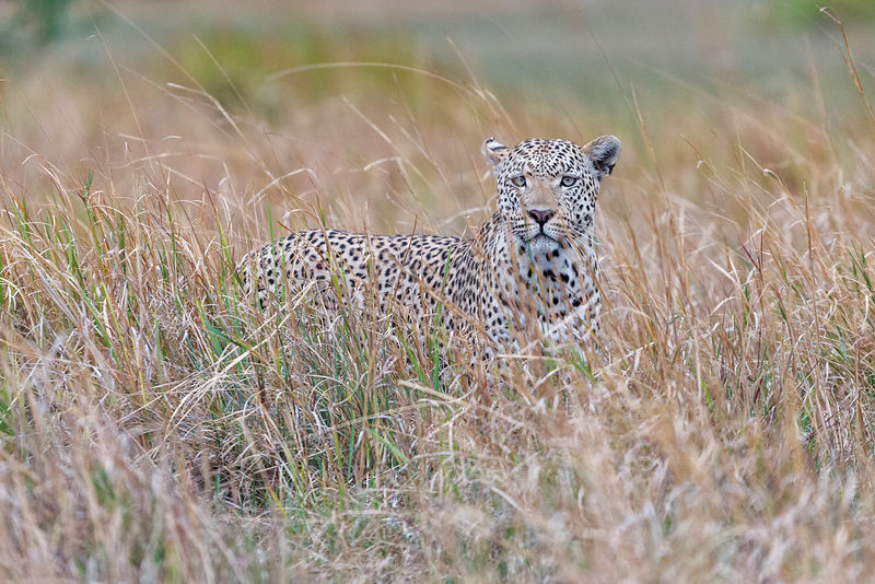 Leopard in Long Grass.