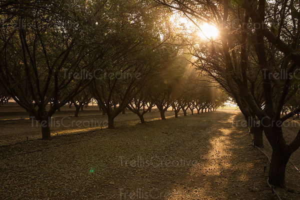 Almond trees in an orchard under the morning sun