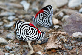 """El numero"" / ""The number"" butterflies ( Diaethria clymena )"