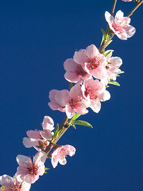 Peach Blossoms #2