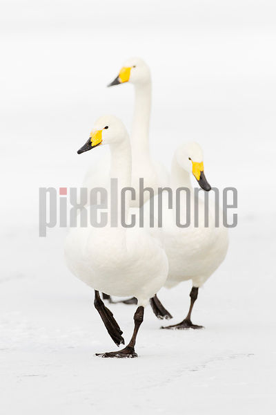 Whooper swans walking on the frozen Lake Kussharo