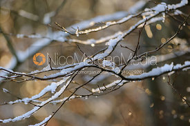 Snow and Ice on the branches of Owston big wood