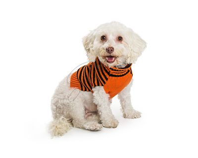 Happy Small Dog Wearing Halloween Sweater