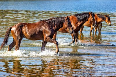 Wild Horses Walking in Arizona River