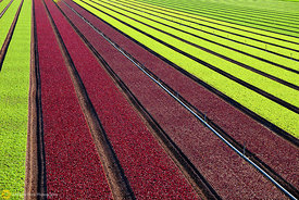 Red & Green Lettuce Near Yuma #3