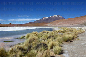 Paja brava grass (Festuca orthophylla) on shore of Laguna Hedionda , Cerro Caquella volcano in background , Bolivia