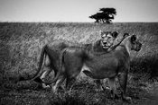 05600-Lions_side_by_side_Laurent_Baheux