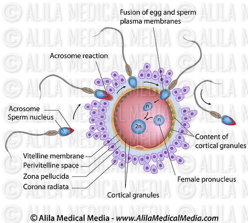 Sperm size human size egg