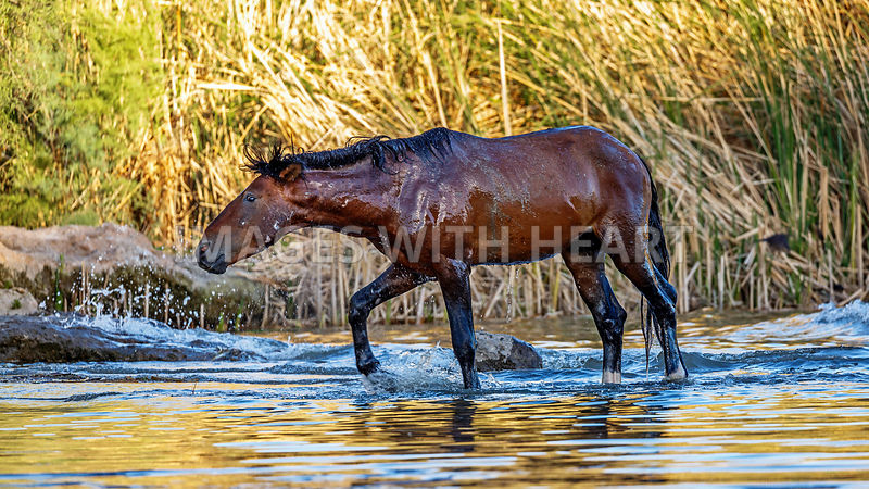 Wet Wild Horse Walking in Salt River