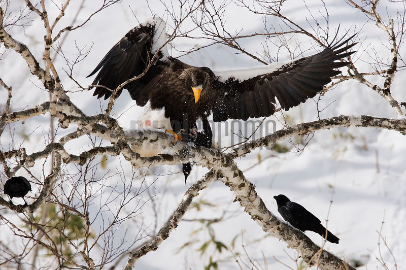 Steller's Sea Eagle defending its prey, a murre, from opportunistic crows, Hokkaido, Japan
