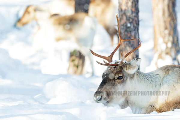 Reindeer lying in the snow in soft winter light in Lapland