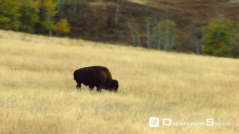 A lone American bison graze the autumn grass in the foothills of the Spanish Peaks near Bozeman, Montana