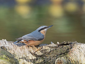 Eurasian Nuthatch Sitta europaea North Norfolk