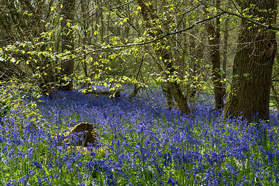 Spring leaves and bluebells