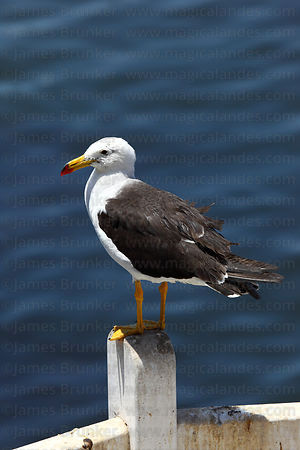 Adult Band tailed or Belchers gull (Larus belcheri) in breeding plumage