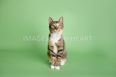 tabby cat sitting on light green background