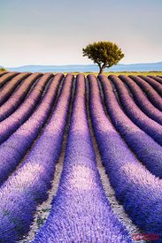Lavender field and tree in Provence, France