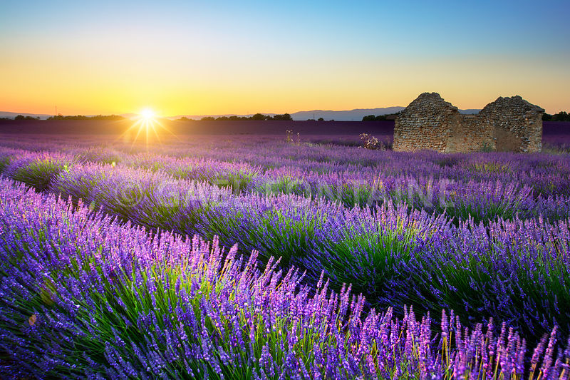 Lavender field and hut at sunset, Provence, France